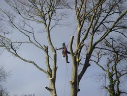 Sectional take down of diseased beech